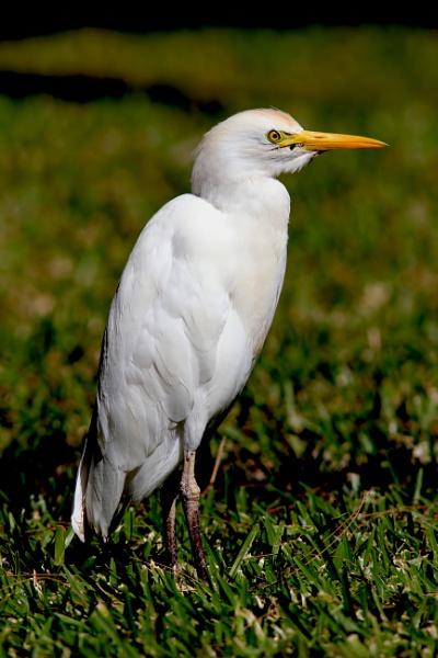 Cattle Egret by jcorn3