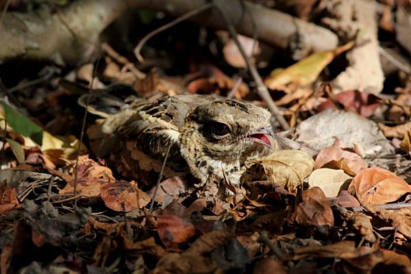 Long Tailed Nightjar by jcorn3