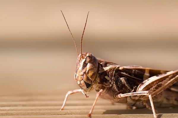 Grasshopper by Msalicat