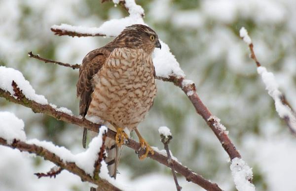 a sparrow hawk by p147180r