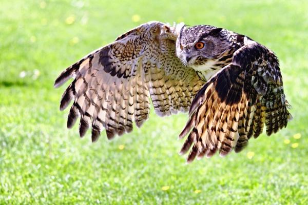Owl in Flight by AlanBullGuernsey