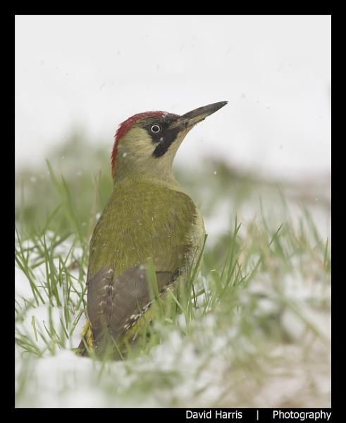 Green Woodpecker - in Snow by johnjo58