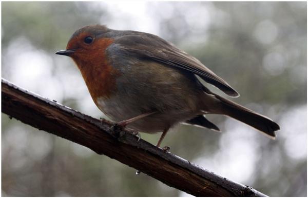 Winter Robin by stephens55