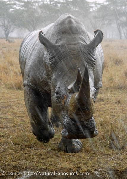 Rhino in the Rain by danieljcox