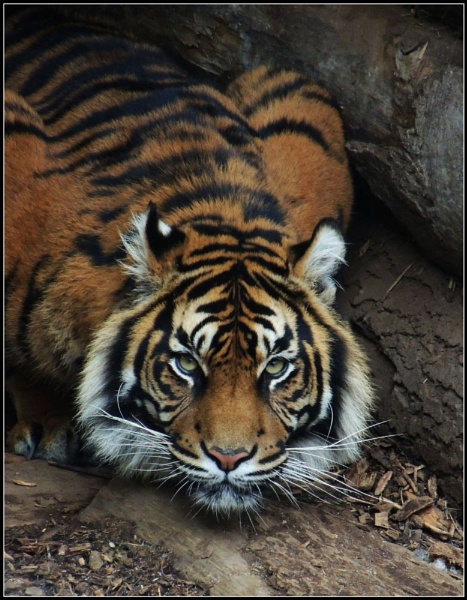 Crouching tiger by kathrynlouise