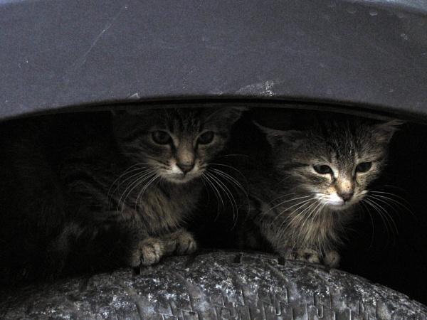 kitties by laura1
