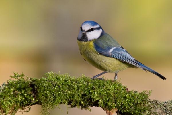 Mossy Blue Tit by PhilSingleton
