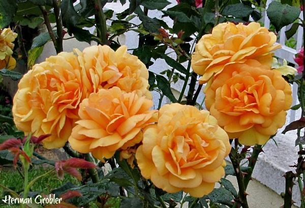 Dark Yellow Roses by Hermanus