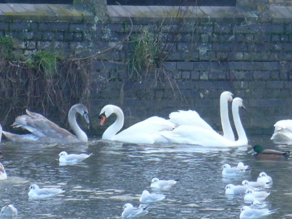 Swan (love) lake by Gary66