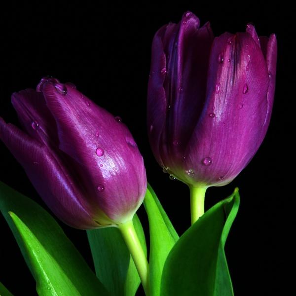 Tulip Duet by boov