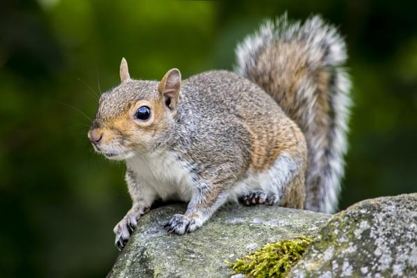 Grey squirrel by Fotomanic1