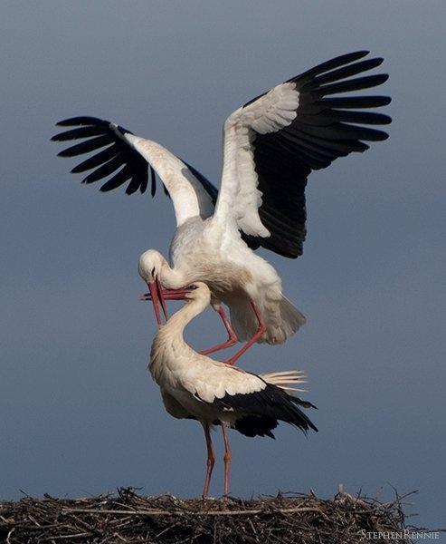 White storks by stepr17