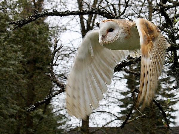 Barn Owl in flight by Pixelliott