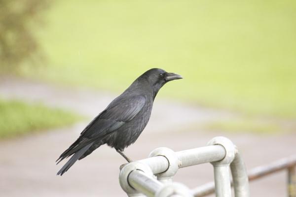 Corvus corone by steviemanse