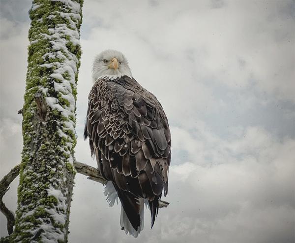 noble eagle by djdouge