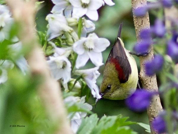 Crimson-backed Sunbird - (Leptocoma minima) - Female by Abyss3