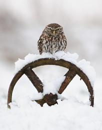 Little Owl (c)