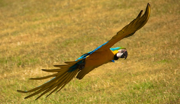 Blue and Gold Macaw by MikeRC