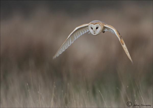 Barn Owl by jaymark1