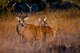 Stag & Hind