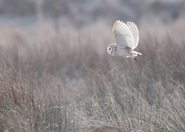 Wintery Barn Owl
