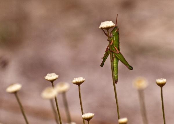 grasshopper by mickyr