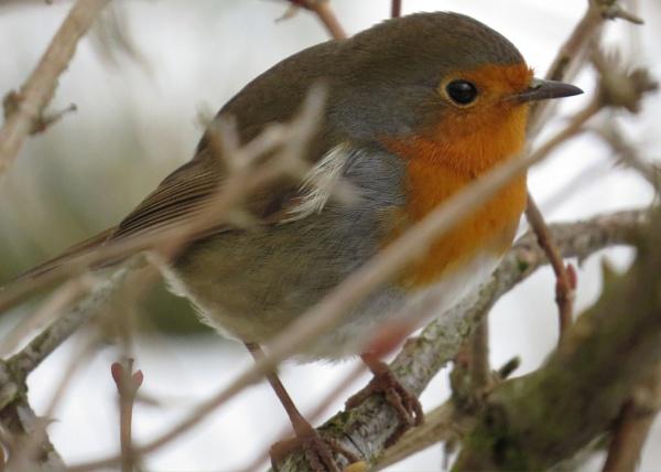 Robin by mickyr