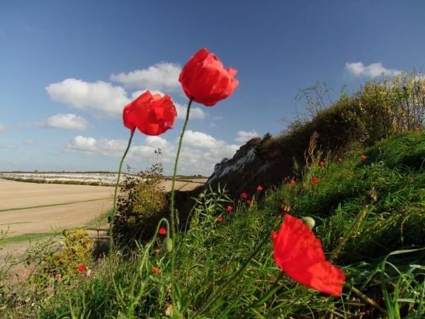 Poppies by pantheonrider