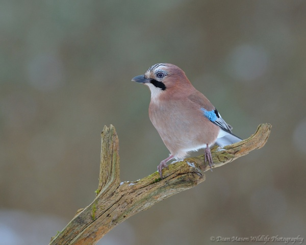 Jay IV by WindowonWildlife