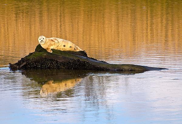 Juvenile Seal by icphoto