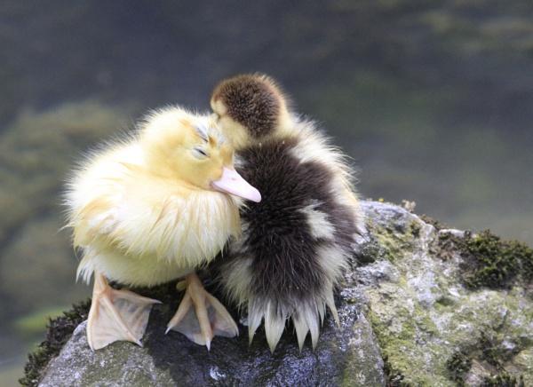 Ducklings. by cheddar-caveman
