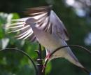Majestic Pigeon
