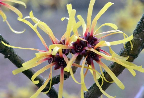 Witch Hazel (Hamamelis sp.) in Flower by chrismonks