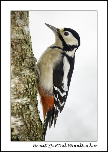 Great Spotted Woodpecker by Redpoll