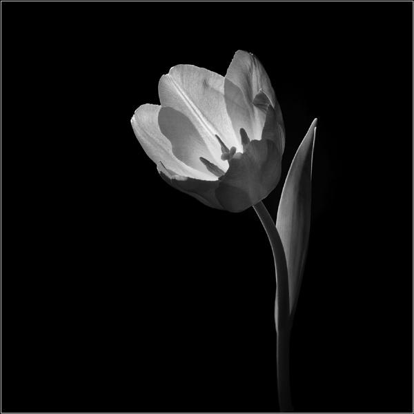 Flower in B&W 06