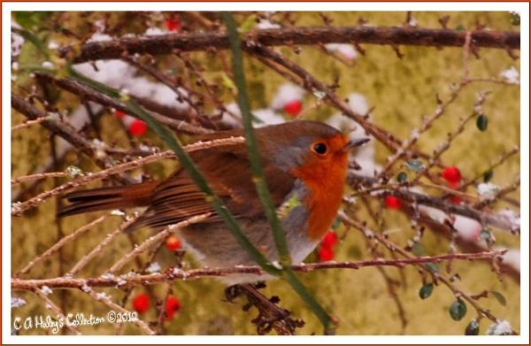 2. Robin by Humblebee