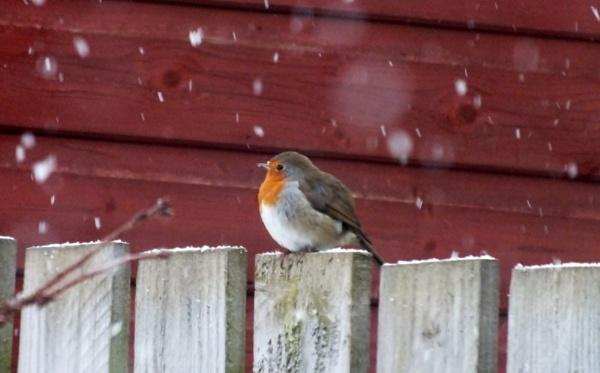 winter garden robin by kevlense