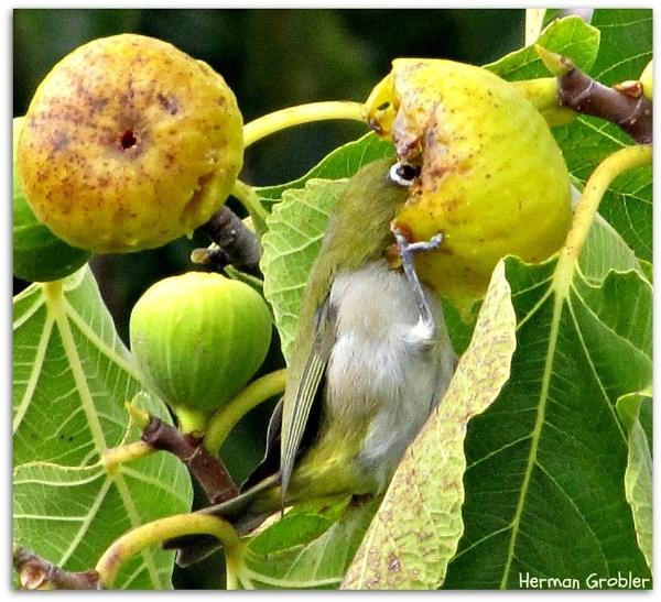 Fig Stealer by Hermanus