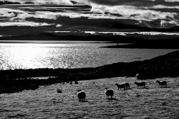 Island Sheep