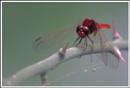 Dragonfly 2 by alistairfarrugia