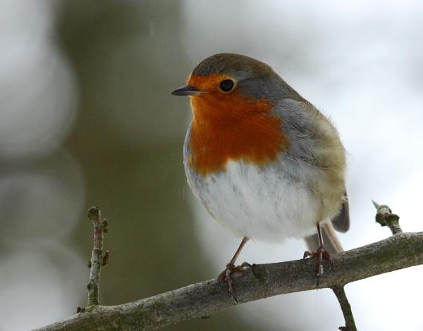 Robin by Fotofloppy