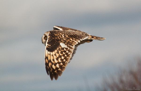 Short eared owl by stepr17