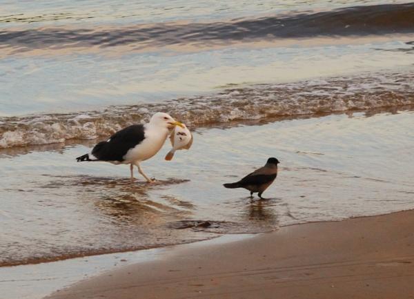 Greater Black Backed Gull by FREAKYROBBIE