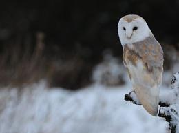Winter Barn Owl (c)