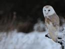 Winter Barn Owl (c) by VinceJones