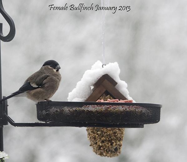 Female Bullfinch by royd63uk