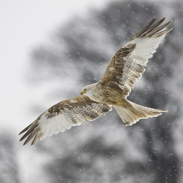 Leucistic red kite by pronature