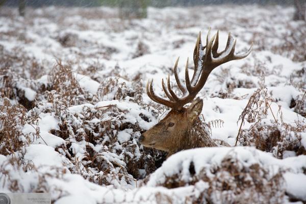 Snowy Sunday Stag by StephenBrighton