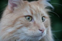 Norwegian Forest Cat Loki