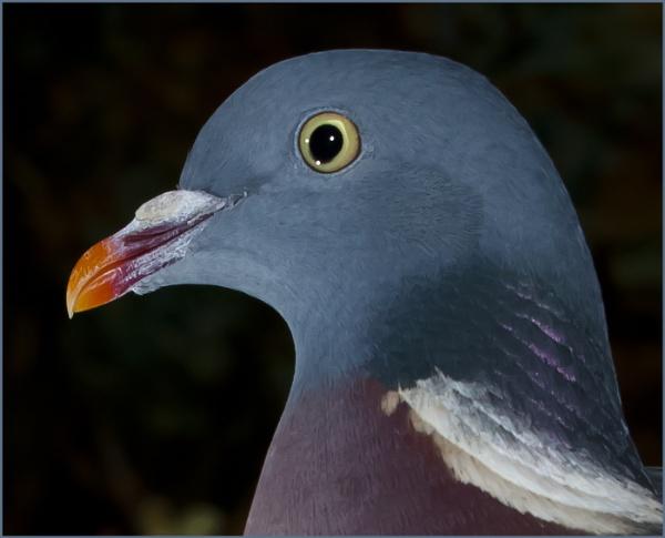 Pigeon Portrait by cornish_chris